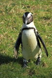 Afrikanischer Pinguin Stockfotos