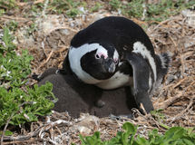 Afrikanischer Pinguin Stockfotografie