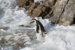 Afrikanischer Pinguin, der auf einem Felsen Südafrika steht stockbilder