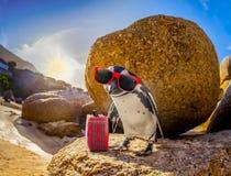 Afrikanischer Pinguin mit Sonnenbrille am Strand Stockfotografie