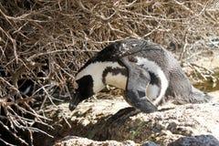Afrikanischer Pinguin, Südafrika Stockbilder