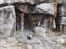 Afrikanischer Pinguin, Spheniscus demersus, über einer felsigen Höhle Esel-Pinguin lizenzfreies stockbild