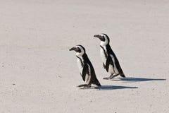 Afrikanischer Pinguin (Spheniscus demersus) Stockfotos