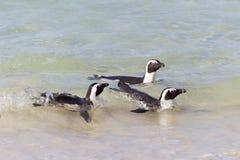 Afrikanischer Pinguin (Spheniscus demersus) Stockbild