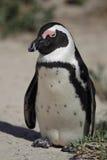 Afrikanischer Pinguin (Spheniscus demersus) Stockbilder