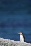 Afrikanischer Pinguin (Spheniscus demersus) Lizenzfreie Stockbilder
