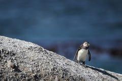 Afrikanischer Pinguin (Spheniscus demersus) Lizenzfreie Stockfotos
