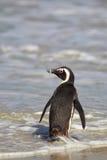 Afrikanischer Pinguin (Spheniscus demersus) Lizenzfreie Stockfotografie