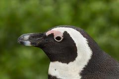 Afrikanischer Pinguinabschluß oben des Kopfes Lizenzfreie Stockfotos