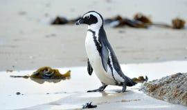 Afrikanischer Pinguinweg aus dem Ozean auf dem sandigen Strand heraus Lizenzfreies Stockbild