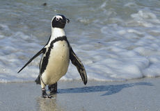 Afrikanischer Pinguinweg aus dem Ozean auf dem sandigen Strand heraus Lizenzfreie Stockfotografie