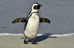 Afrikanischer Pinguinweg aus dem Ozean auf dem sandigen Strand heraus Lizenzfreie Stockfotos