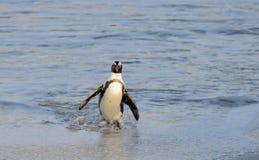 Afrikanischer Pinguinweg aus dem Ozean auf dem sandigen Strand heraus Lizenzfreie Stockbilder
