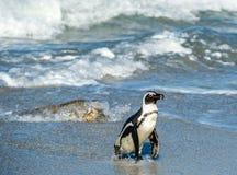 Afrikanischer Pinguinweg aus dem Ozean auf dem sandigen Strand heraus Stockfoto