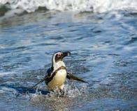 Afrikanischer Pinguinweg aus dem Ozean auf dem sandigen Strand heraus Stockfotografie