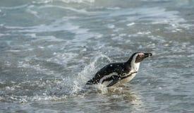 Afrikanischer Pinguinweg aus dem Ozean auf dem sandigen Strand heraus Stockfotos