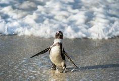 Afrikanischer Pinguinweg aus dem Ozean auf dem sandigen Strand heraus Stockbilder