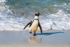 Afrikanischer Pinguinweg aus dem Ozean auf dem sandigen Strand heraus Afrikanisches Pinguin Spheniscus demersus alias das Esel pe Stockfotografie
