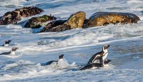 Afrikanischer Pinguinweg aus dem Ozean heraus Stockbilder