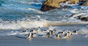 Afrikanischer Pinguinweg aus dem Ozean heraus Lizenzfreie Stockbilder