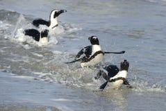 Afrikanischer Pinguinweg aus dem Ozean heraus Stockbild