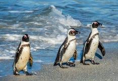 Afrikanischer Pinguinweg aus dem Ozean heraus Lizenzfreie Stockfotos