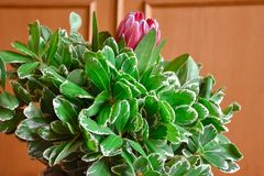Afrikanischer Protea im grünen Laub stockfotos