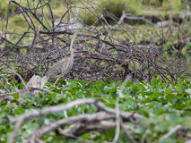 Afrikanischer Purpurreiher Lizenzfreie Stockfotografie