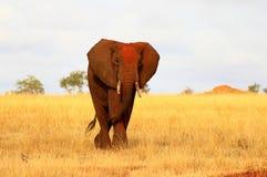 Afrikanischer roter Elefant stockfotografie