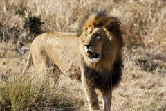 AFRIKANISCHER SÜDOSTLÖWE (TRANSVAAL-LÖWE) Lizenzfreie Stockfotografie