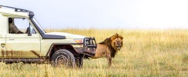 Afrikanischer Safari-Löwe am Safarifahrzeug Stockbild