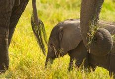 Afrikanischer Schätzchen-Elefant mit Leibwächtern Stockbild