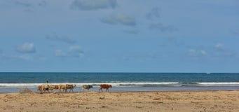 Afrikanischer Schäfer mit einer Herde von Kühen am Strand Stockfotografie