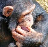 Afrikanischer Schimpanse. Lizenzfreies Stockfoto