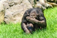 Afrikanischer Schimpanse, der sein Gesicht versteckt Stockfotografie
