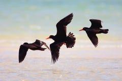 Afrikanischer schwarzer Oystercatcher Lizenzfreies Stockbild