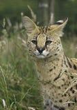 Afrikanischer Serval stockfotografie