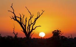 Afrikanischer Sonnenuntergang mit einem Baumschattenbild und einer großen orange Sonne Lizenzfreies Stockbild