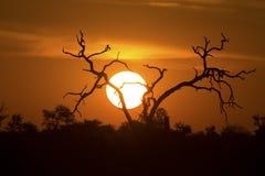Afrikanischer Sonnenuntergang mit einem Baumschattenbild und einer großen orange Sonne Lizenzfreies Stockfoto