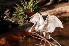 Afrikanischer Spoonbill rief Platalea alba an Stockfoto