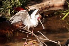 Afrikanischer Spoonbill rief Platalea alba an Lizenzfreie Stockbilder