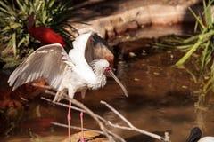Afrikanischer Spoonbill rief Platalea alba an Lizenzfreies Stockfoto