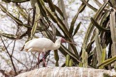 Afrikanischer Spoonbill rief Platalea alba an Lizenzfreie Stockfotos