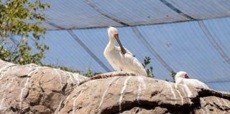 Afrikanischer Spoonbill rief Platalea alba an Lizenzfreies Stockbild