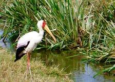 Afrikanischer Storch stockfotografie