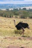 Afrikanischer Strauß in der Savanne des Masais Mara Kenia, Afrika lizenzfreie stockbilder