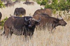 Afrikanischer Umhangbüffel Stockfoto