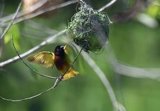Afrikanischer Weber-Vogel Lizenzfreie Stockfotos