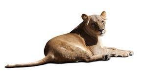 Afrikanischer weiblicher Löwe Stockfotos