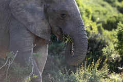 Afrikanischer wilder Elefant Stockfotografie